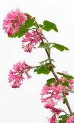 Blut-Johannisbeere / Ribes sanguineum