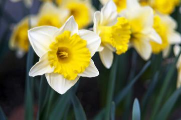 Narcissus (plant), daffodil