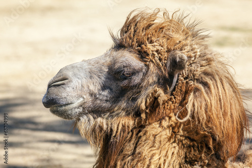 Head of a camel