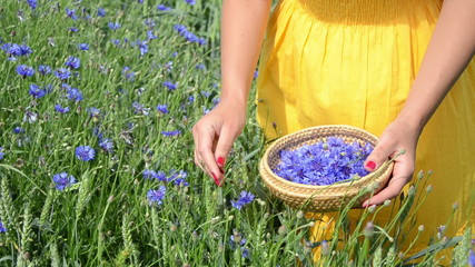 woman with yellow dress gather cornflower in  little plate