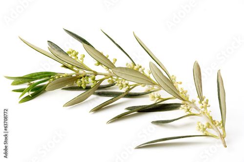 Foto op Plexiglas Olijfboom Ramo di ulivo fiorito