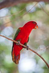 Beautiful red parrot bird