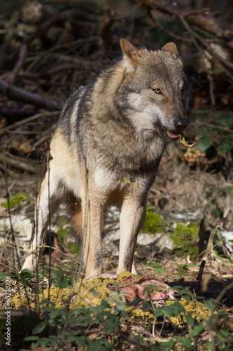 timber wolf with prey