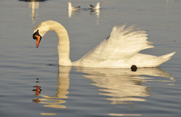 Swan swimming at lake