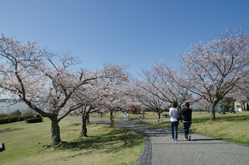 A cherry blossom tree in a park