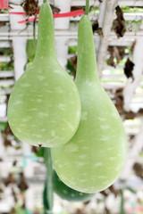 green Chinese winter melon.