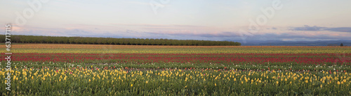 Field of Tulips Panorama
