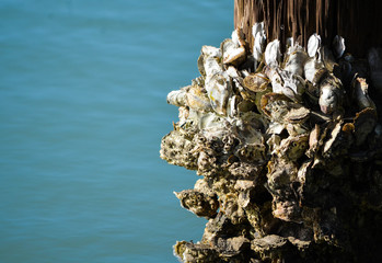 Barncales on a piling