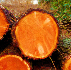 Frisch geschlagene Baumstämme
