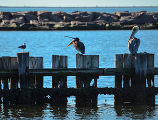 Pelicans Standing on Pilings