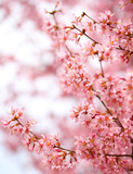 Cherry Blossom. Sakura in Springtime. Beautiful Pink Flowers - 63717992