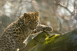 Amur leopard cub on tree