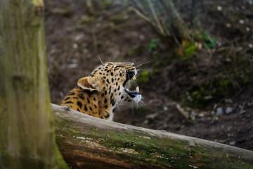 Amur leopard cub roar behing tree