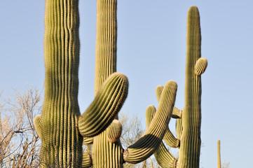 Saguaro cactus, Tucson, Arizona