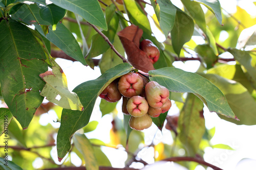 rose apple on tree.