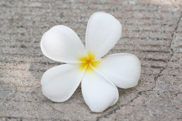 White plumeria fall on the road.