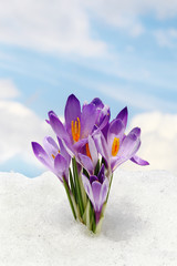 Sky flower, crocus and snow