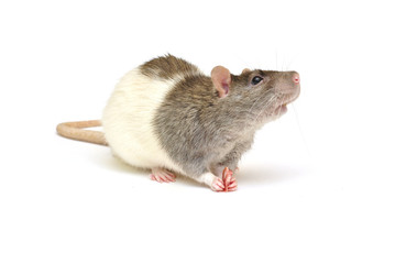 Nice rat eat