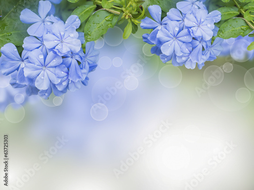 Flowers background with  Blue plumbago