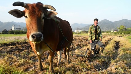 Farmer spring ploughing sow with buffalo in Zhejiang China.