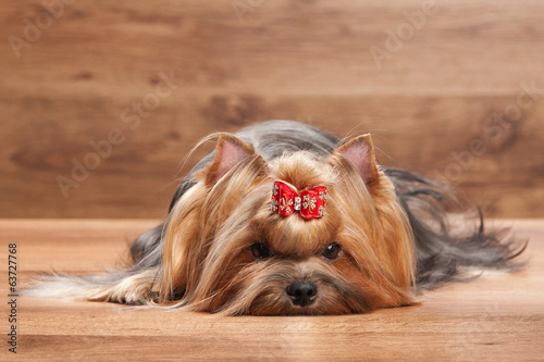young yorkie puppy on table with wooden texture