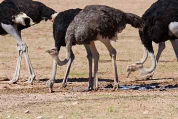Group of ostriches at a waterhole in the dry desert