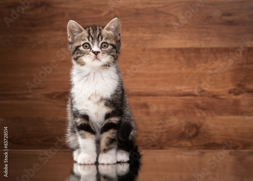 scottish straight kitten on mirror and wooden texture