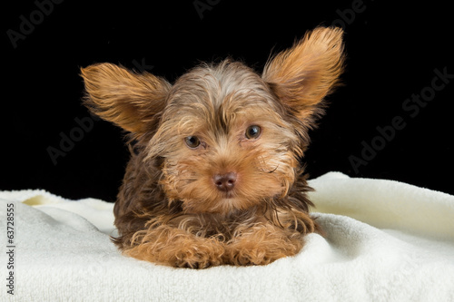 Cute brown Yorkshire terrier in a bed of white blanket against b
