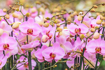 Pink orchids in a Dutch greenhouse