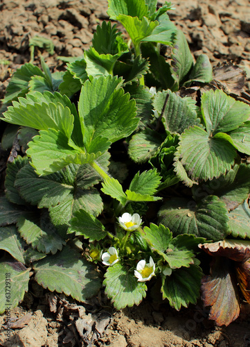 Large bush blooming in the garden strawberries