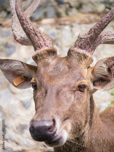 Portrait of a brown deer