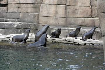 Seehunde - alle nach rechts