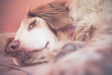 cane da caccia breton