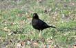 bird - blackbird in the grass
