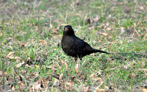 bird - blackbird in the grass