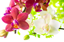 Blooming branches white and red phalaenopsis orchid with green l