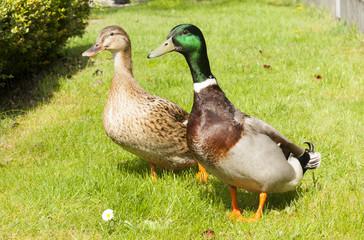 beautiful wild ducks head in the sunlight