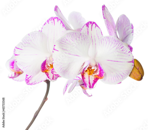 Blooming lilac striped orchid, phalaenopsis is isolated on white