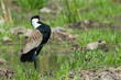 Spur-Winged Plover (Vanellus Spinosus) displaying proudly on the