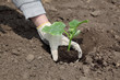 Agriculture farmer planting cucumber seedling to ground in field