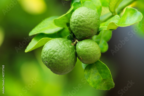 Bergamot for food ingredients