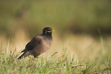 Common mynah bird in Nepal