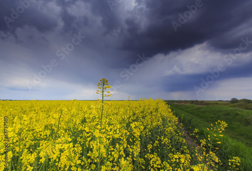 Beatiful rural scenery with canola fields