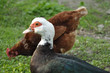 muscovy duck with white head