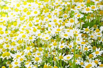 Bright background of chamomile