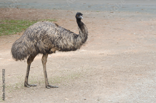 Black ostrich attentively looks