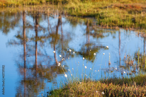 Cottongrass at the pond