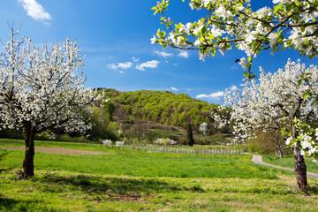 Kirschblühte, Kaiserstuhl, Frühling,