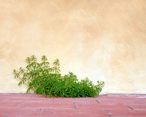Goosegrass and wall, rustic background. Galium aparine.