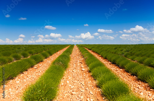 Green lavender fields rows